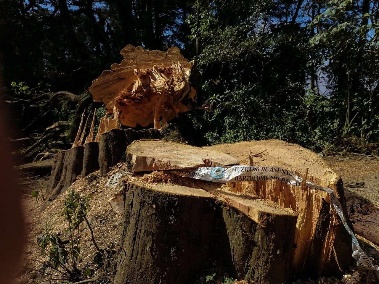 Árboles antiguos que fueron talados por el personal de TRECSA en la montaña de Sacatepéquez.